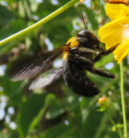 クマバチ2