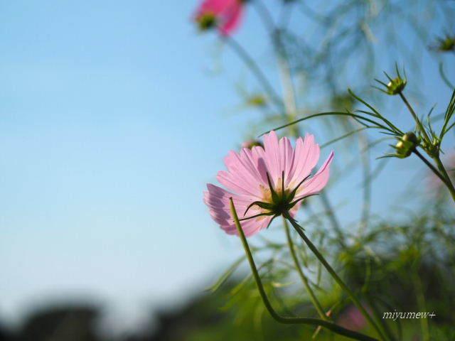 秋桜とそら171103