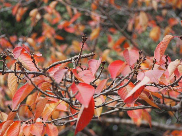 桜紅葉171125