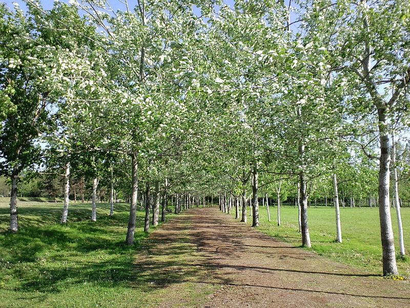 800px-Higashiyama-park_row-of-poplars.jpg