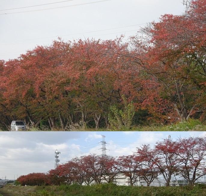 桜の落葉と紅葉