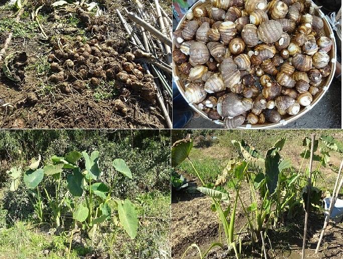 小芋の収穫