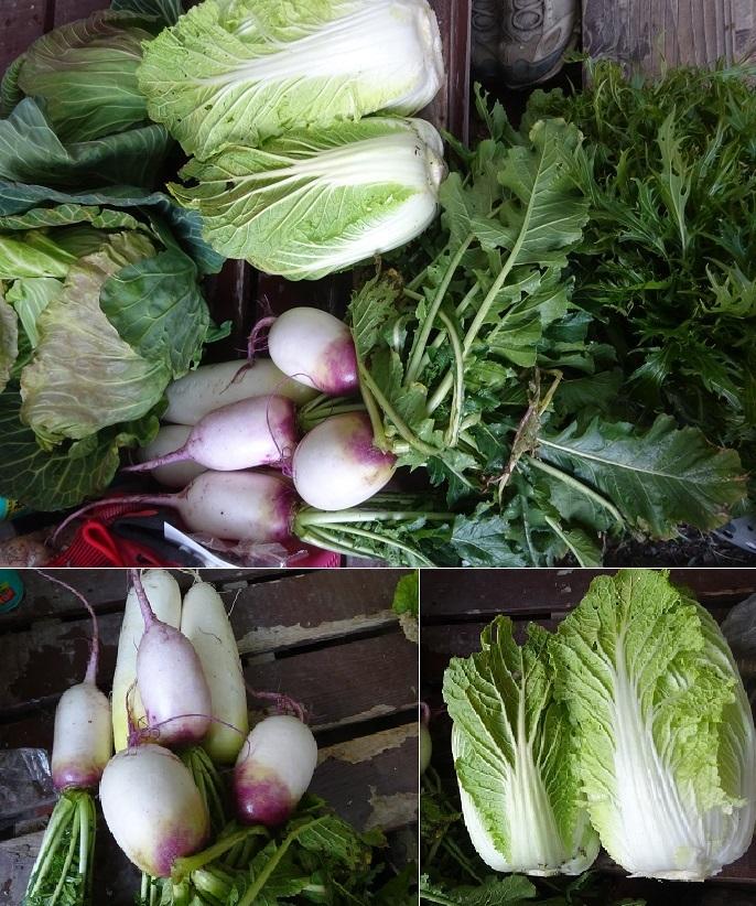 赤大根と白菜り収穫