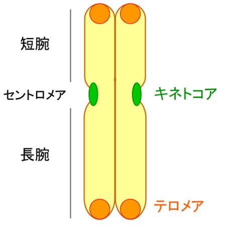 セントロメアが進化のカギ