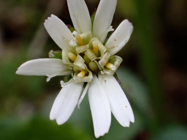 センボンヤリの花1