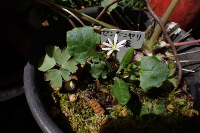 センボンヤリの春の花