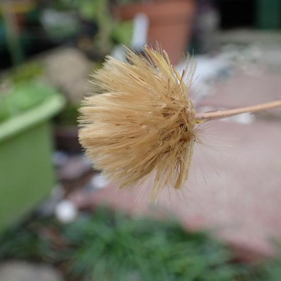 センボンヤリの閉鎖花が開く