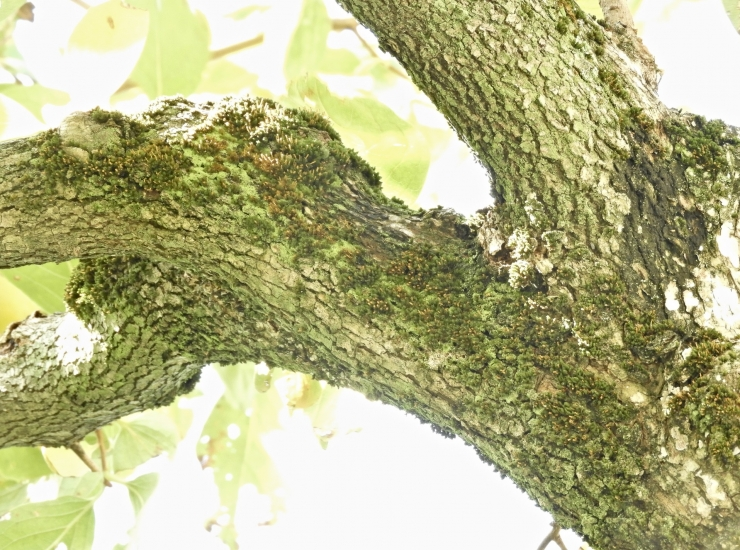 柿の木の苔