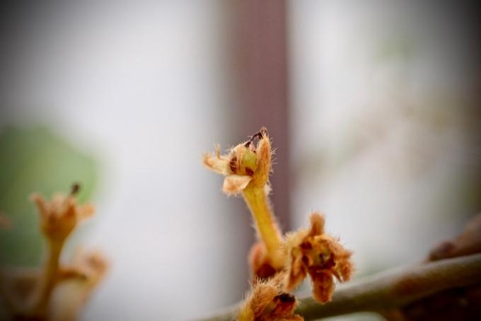 シロダモの花と幼果