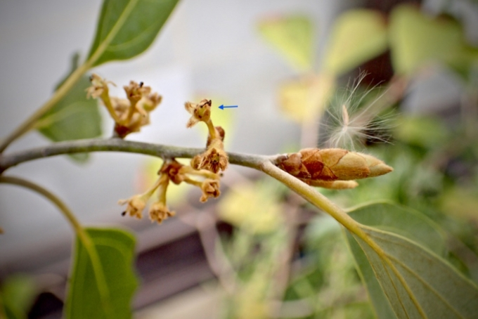 シロダモの花と冬芽