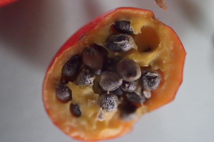 イイギリの果実と種子2