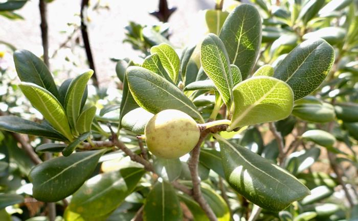 トベラの葉・果実