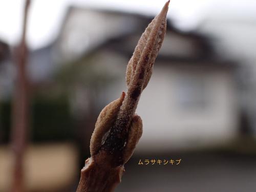 ムラサキシキブの冬芽