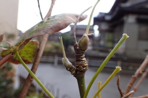 キングサリの冬芽1