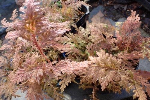カタヒバの紅葉