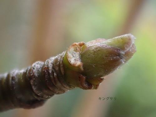 キングサリの冬芽