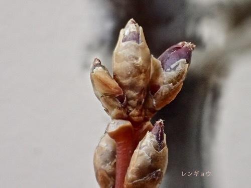 レンギョウの冬芽1