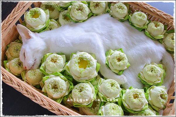旅立ち 虹の橋 タイ猫 リンパ腫 介護 カオマニー オッドアイ ねこ部 ふわもこ部 แมวไทย