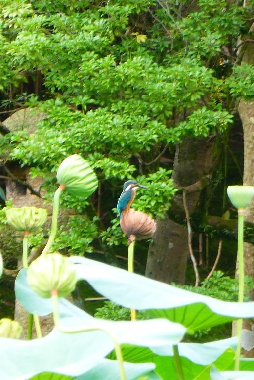 カワセミと蓮の写真