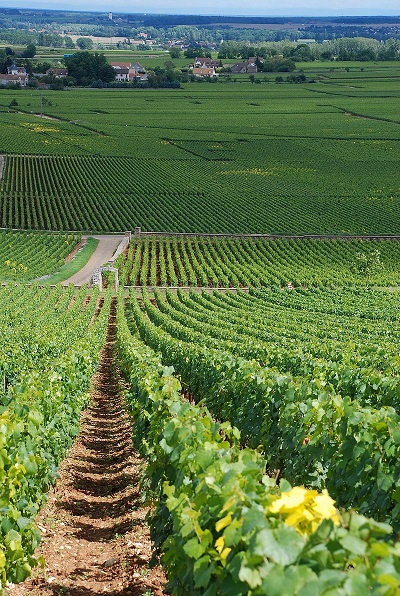 ピュリニー=モンラッシェのブドウ畑