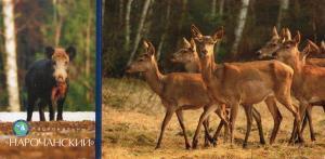 鹿  ベラルーシ
