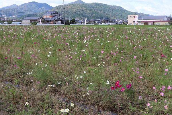 2017.11.05 亀岡夢コスモス園-4
