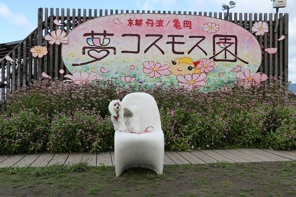 2017.11.05 亀岡夢コスモス園-6