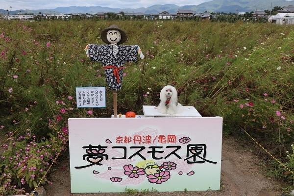 2017.11.05 亀岡夢コスモス園-24