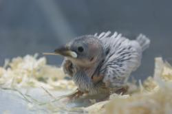 宮城県仙台、塩釜のペットショップ小鳥/小鳥情報/シルバー文鳥