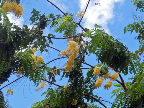 ハワイ001シャワーツリー