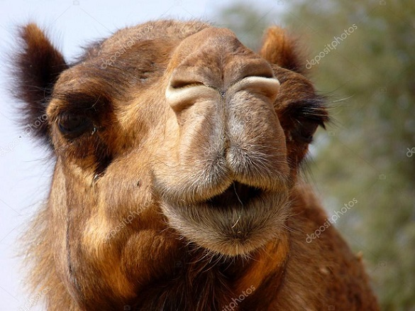 depositphotos_5271573-stock-photo-arabian-camel-face-close-up.jpg