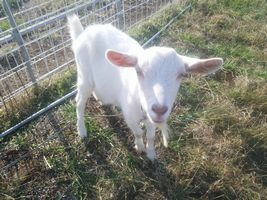 【写真】初めて怒られてこちらを見上げる子ヤギのポール