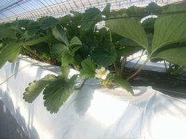 【写真】葉寄せ用のワイヤーの下から白いいちごの花がのぞいているところ