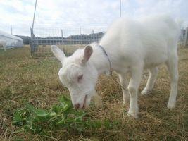 【写真】オニノゲシに駆け寄る子ヤギのポール