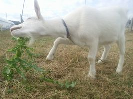 【写真】オニノゲシに苦戦する子ヤギのポール