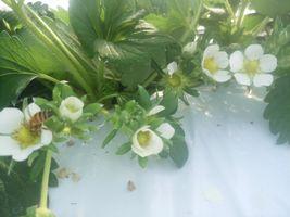 【写真】かなみひめの花にとまって花粉を集めるミツバチ