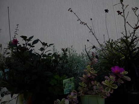 コビト花壇09