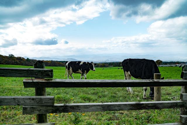 大山放牧 牛 牧場