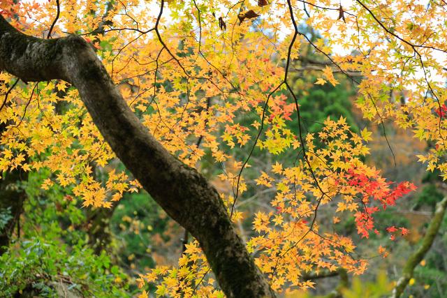 倉吉市三朝町 小鹿渓谷 秋の紅葉