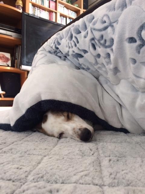 コタツ犬はんぞう🐶