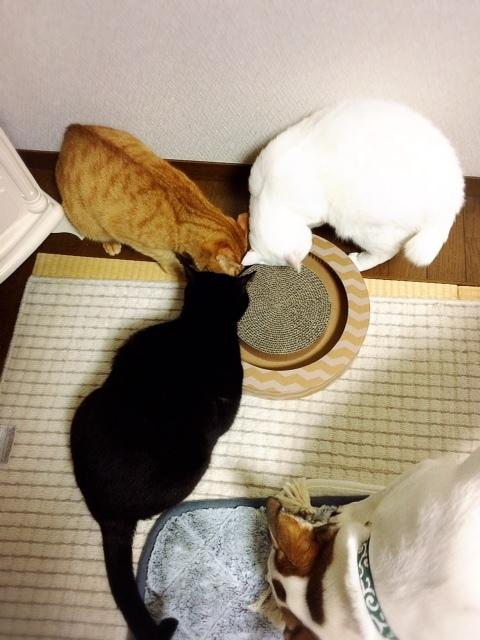 弟猫たちもSOSの皆様からのプレゼントに大はしゃぎ🎁