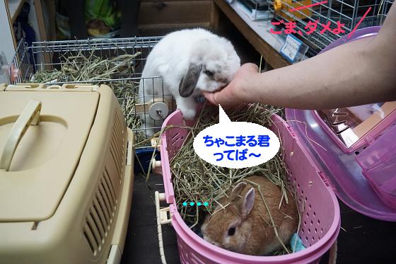 ぴょん子171008_14