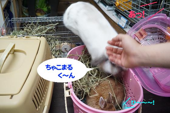 ぴょん子171008_15