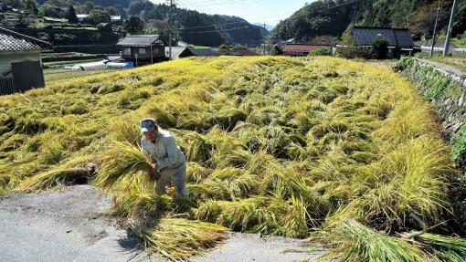 7217稲刈り1710261