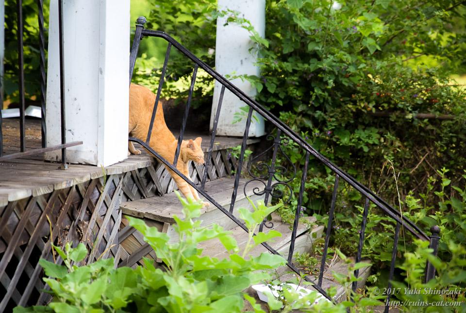 デトロイトの猫 伸びをする茶トラ Soft