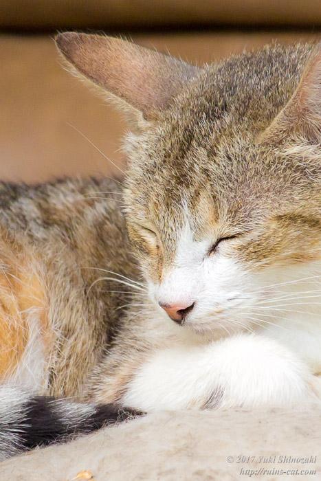デトロイトの猫 眠るキジトラ