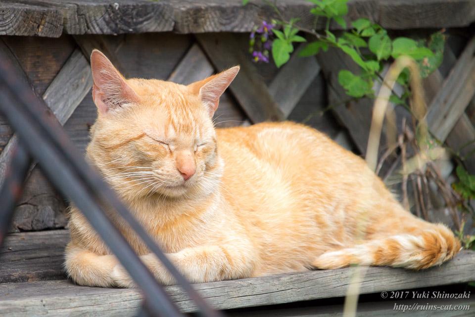 デトロイトの猫 眠る茶トラ