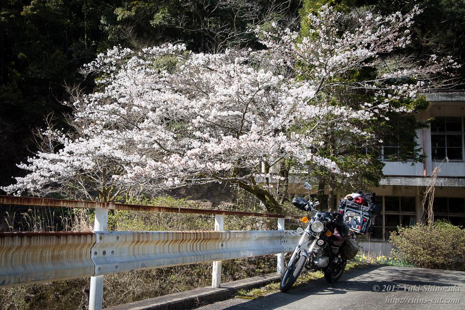 板谷小学校前の桜とGN125H