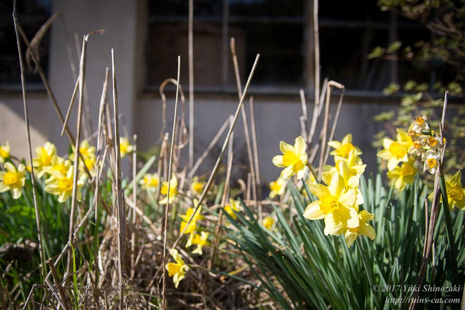 廃校となった学校、花壇に咲く水仙