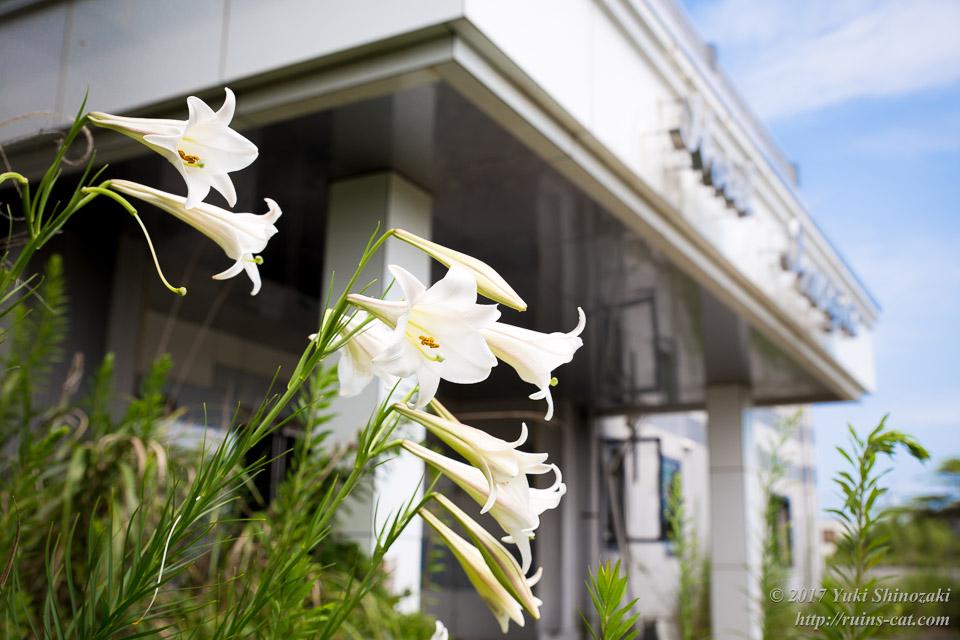美しいテッポウユリの咲き乱れる廃墟